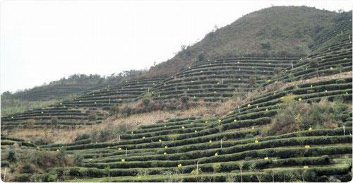 jardins de thé bio