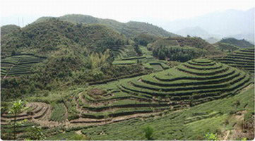 Jardins bio de thé blanc en mai