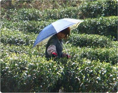 contrôle bourgeons thé blanc
