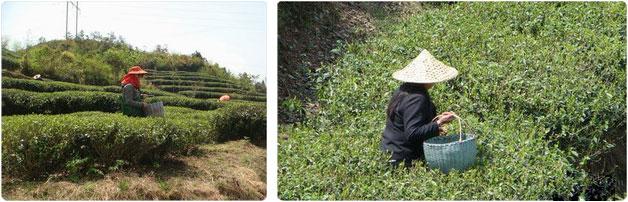 récolte thé blanc en avril
