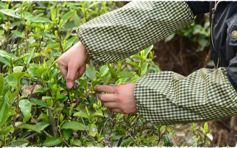 Cueillette manuelle thé vert