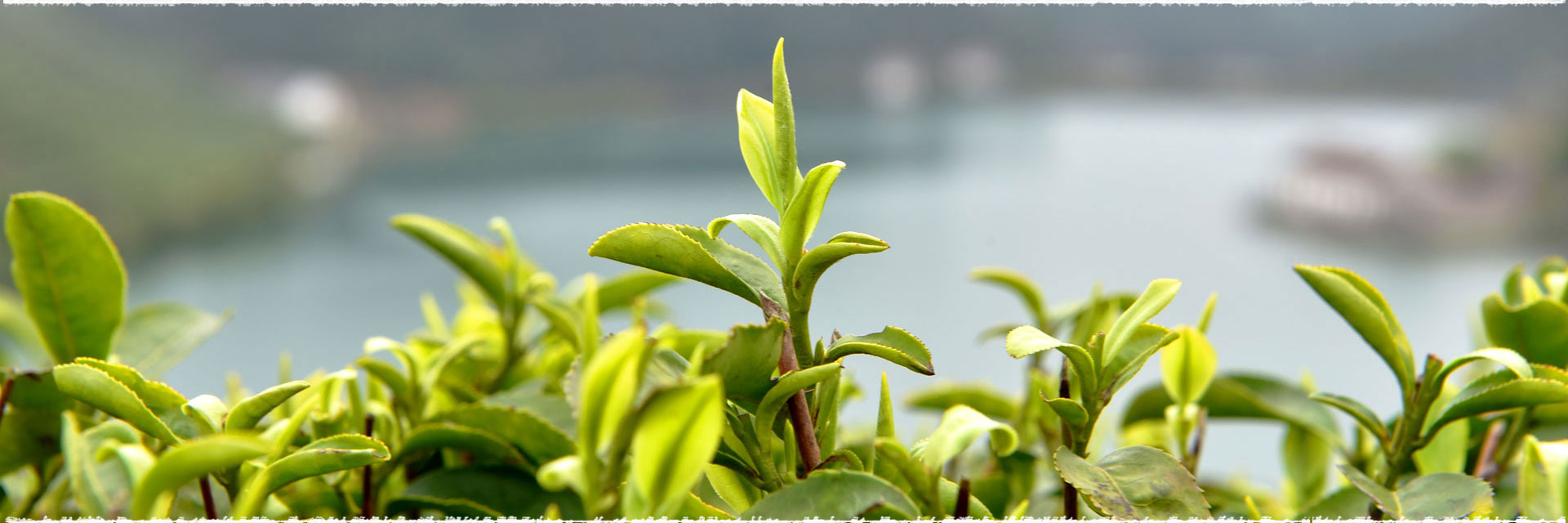 La fabrication des thés verts chinois