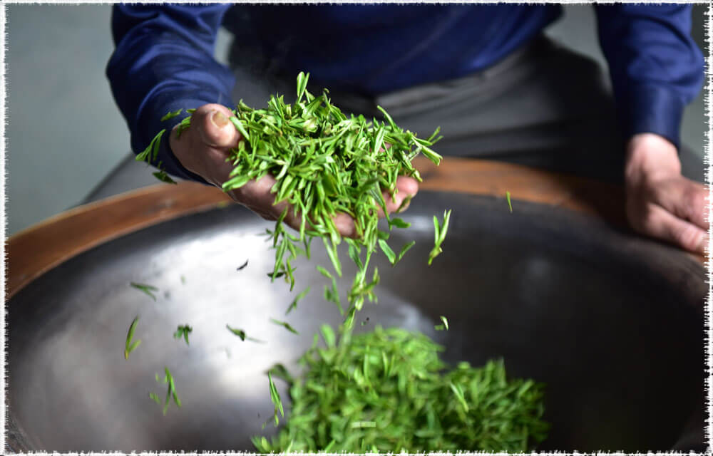 thé vert de printemps : fixation du longJing