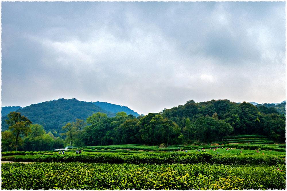 Hangzhou : thé vert de printemps 2014