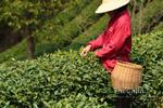 Le rapport du ministère chinois de l'agriculture sur la récolte de thés de printemps 2014