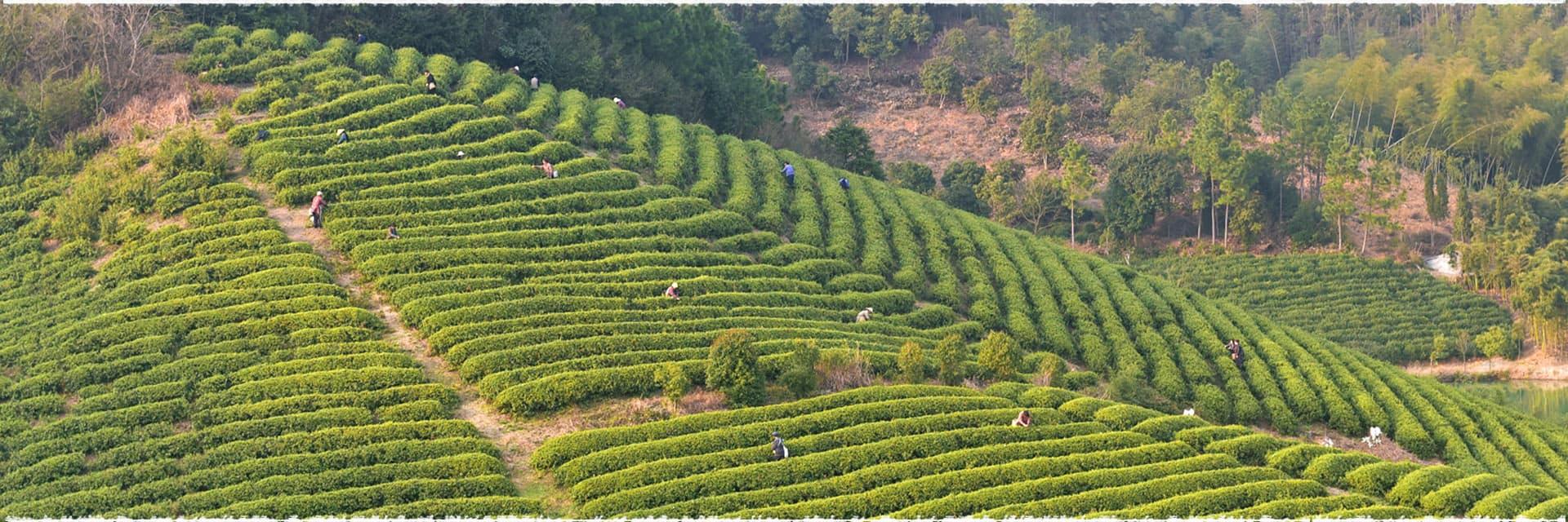 La production de thé noir en Malaisie dans les Cameron Highlands.