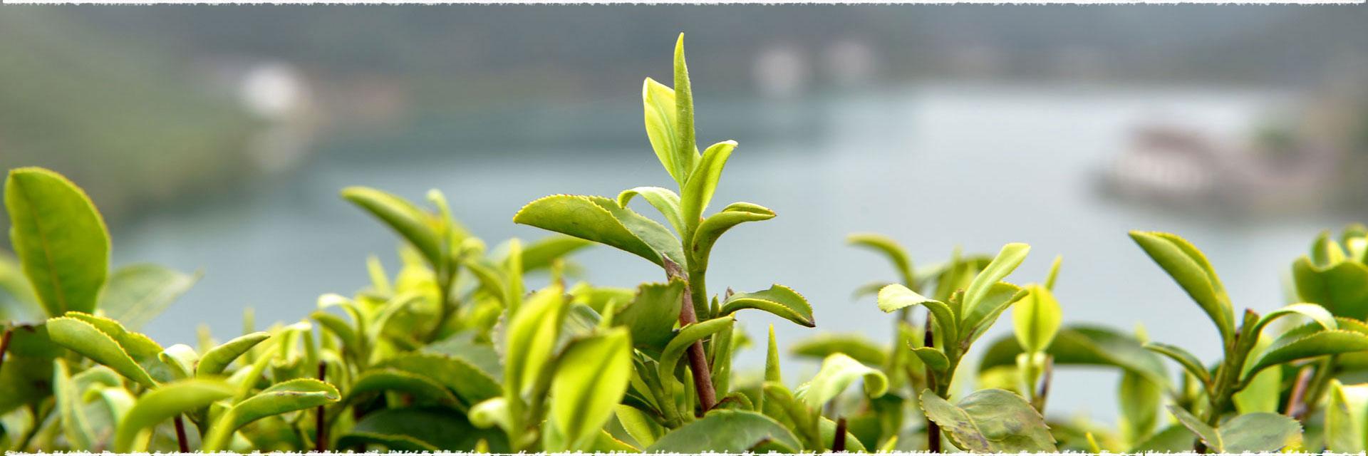 Thé vert ou café noir ?