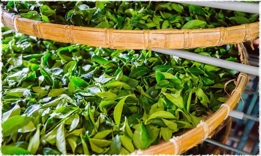 Fermentation thé noir