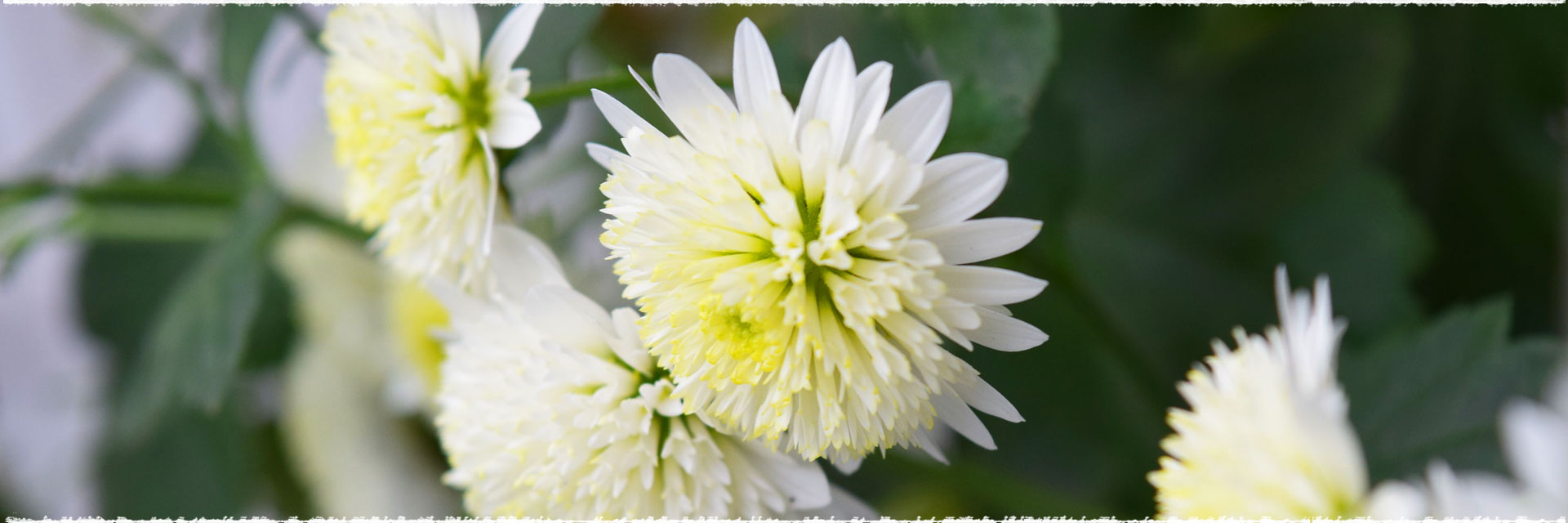 Recette d'automne : un potage aux chrysanthèmes.