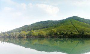 Les jardins de thé biologique de Bao Jia Cun